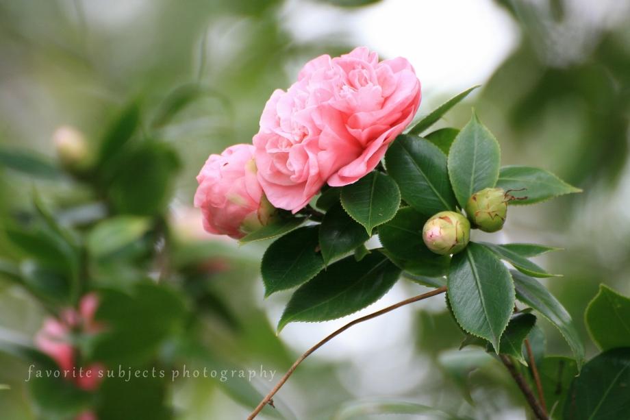 CamelliaClump!