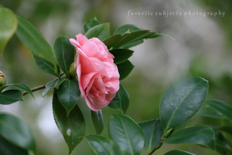 CamelliaSide!
